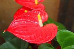Calla flower red Stock Photo