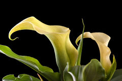 Calla flower Royalty Free Stock Photography