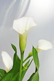Calla flowers. The tender flower calla in close up royalty free stock photo