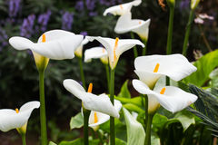 Free Calla Flowers Royalty Free Stock Photos - 30691508