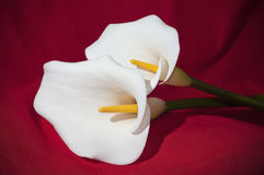 Calla flowers on red background. Two calla flowers on red background Stock Photography