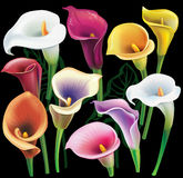 Calla flowers set in different colors Stock Photo