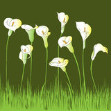 Calla garden. Hand drawn illustration of a calla garden card over a dark green background Stock Image