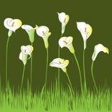 Calla garden Stock Image