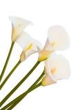 Calla geïsoleerdev lelie royalty-vrije stock afbeelding