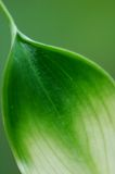 Calla Leaf Royalty Free Stock Photo
