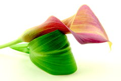 Calla with leaf Royalty Free Stock Image