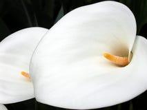 Calla lelies Royalty-vrije Stock Foto's