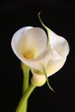 Calla lelies in liefde Stock Afbeeldingen
