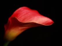 Calla-Lilie Stockfoto