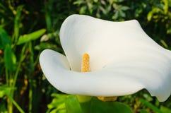 Calla-Lilie in voller Blüte Stockfotos
