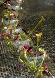 Calla-Lilie (Zantedeschia aethiopica) Lizenzfreies Stockfoto