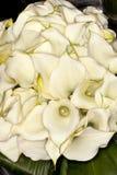 Calla-Lilie Zantedeschia aethiopica Stockfotos