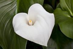 Calla-Lilie (Zantedeschia aethiopica) Lizenzfreie Stockfotos