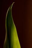 Calla-Lilien-Blatt Stockbild