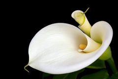 Calla Lilies. White calla lilies, over black background, in soft focus Stock Photos