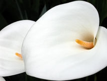 Calla lilies. Beautiful overlapping calla lilies Royalty Free Stock Photos
