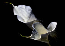 Calla Lilies. A shot of two calla lilies Stock Images