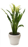 Calla lilies. Isolated on white background Stock Photo