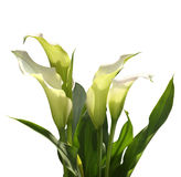 Calla lilies. Isolated on white background Royalty Free Stock Image
