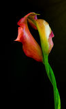 Calla Lilies Royalty Free Stock Photos