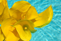 Calla Lilies. Bouquet of yellow calla lilies Royalty Free Stock Images