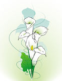 Calla lilies abstract. Calla lily flowers  abstract illustration Stock Images