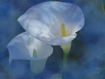 Calla Lilies on Blue. Two calla lilies layered on a blue abstract background Stock Photography