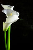 Calla lilies. Bouquet of calla lilies on black background royalty free stock image
