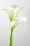Calla lilies. Bouquet of calla lilies on light background Stock Photos
