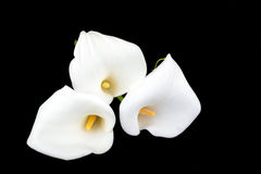Calla lilies close-up Stock Photo
