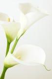 Calla lilies. Close-up. Shallow DOF stock photography