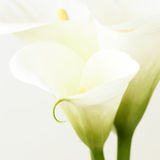 Calla lilies Royalty Free Stock Photography