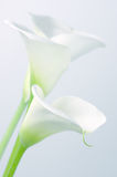 Calla lilies Stock Image