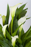 Calla lilies Stock Photos