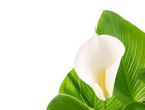 Calla lilies with green leaves Royalty Free Stock Images