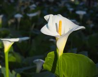 Calla lilies in a greenhouse row, Valencia. Pair of calla lilies in a greenhouse row Royalty Free Stock Images