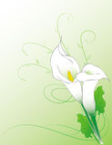 Calla lilies. Calla lily flowers illustration on a gradient background Royalty Free Stock Images