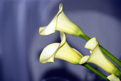 Calla lilies in love Stock Images