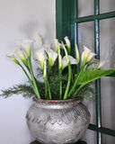 Calla lilies in a pot Stock Images