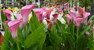 Calla lilies. Showing of their elegant brilliance. Pink and white Stock Images