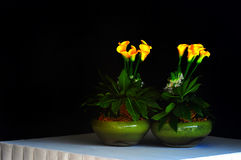 Calla Lilies in Vases Royalty Free Stock Image