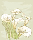 Calla lilies. Vector drawing of the bouquet of the calla lilies Royalty Free Stock Photos
