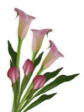 Calla Lilies on white Background. Image and illustration composition of beautiful pink calla lilies for wedding, birthday, party invitation on white background Royalty Free Stock Photos