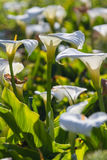 Calla lilies - Zantedeschia aethiopica Royalty Free Stock Photo