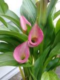 Calla Lillies fotografie stock