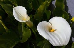 Calla Lillies da mola Fotos de Stock