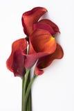 Calla Lillies op wit Royalty-vrije Stock Foto