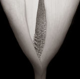 calla lilly Стоковое фото RF