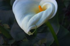 calla lilly Royaltyfri Foto